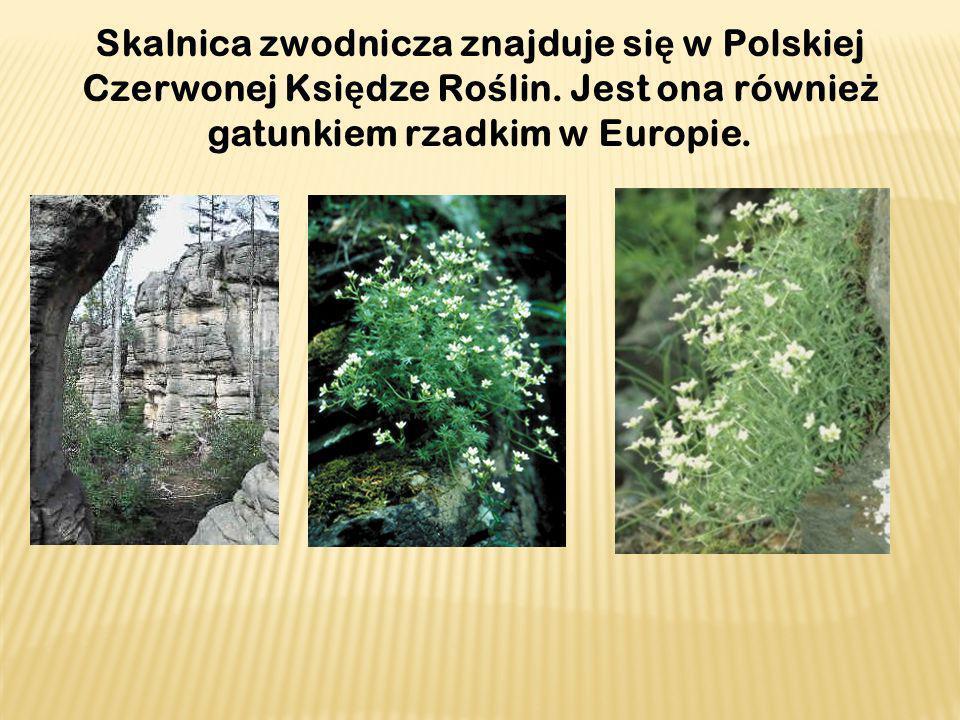 Skalnica zwodnicza znajduje się w Polskiej Czerwonej Księdze Roślin