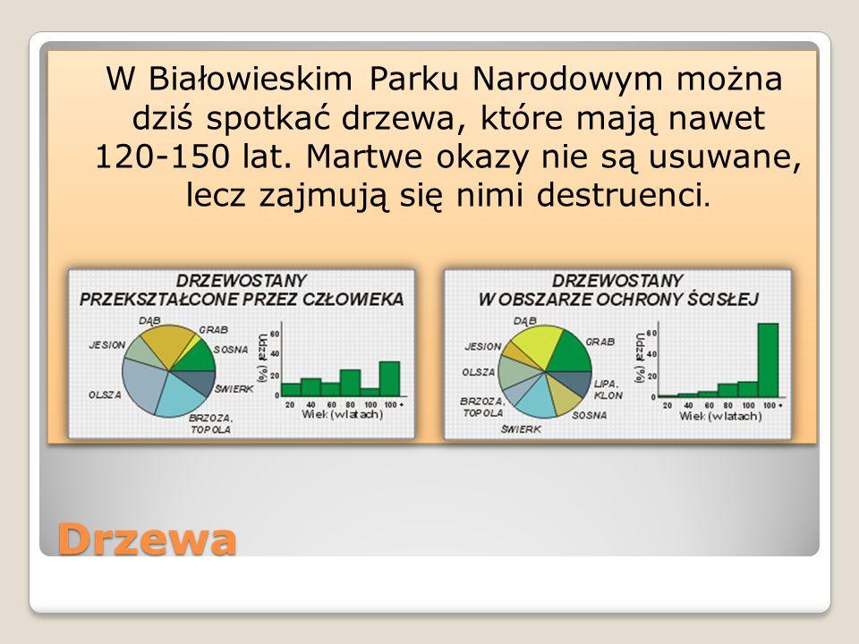 W Białowieskim Parku Narodowym można dziś spotkać drzewa, które mają nawet 120-150 lat. Martwe okazy nie są usuwane, lecz zajmują się nimi destruenci.