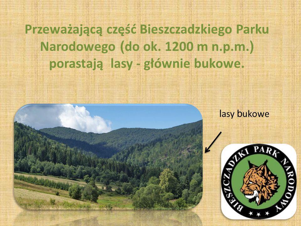 Przeważającą część Bieszczadzkiego Parku Narodowego (do ok. 1200 m n.p.m.) porastają lasy - głównie bukowe.