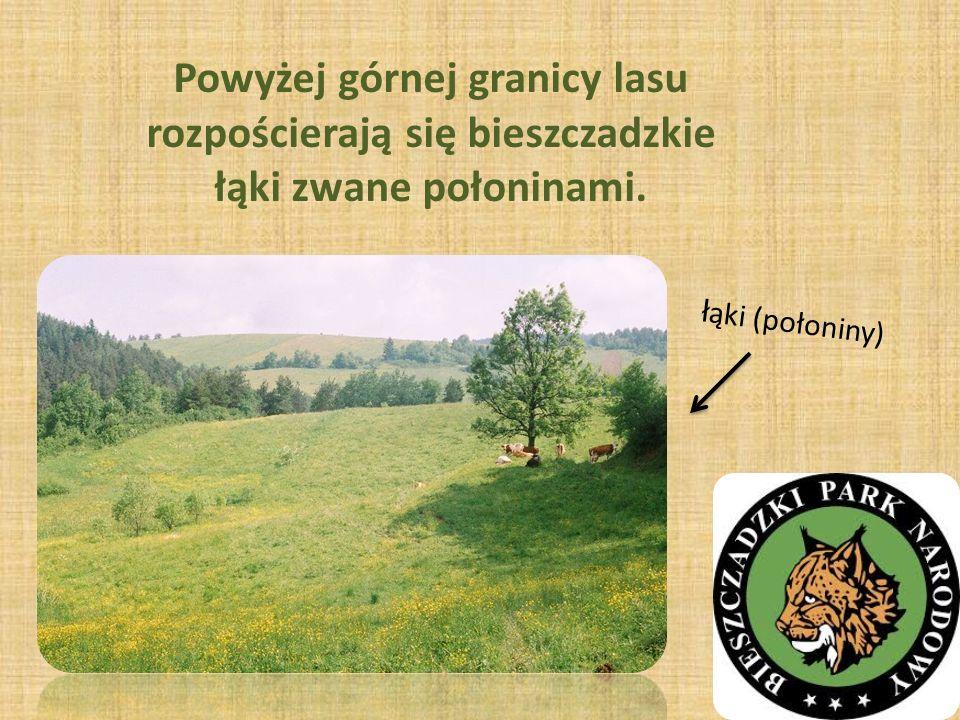 Powyżej górnej granicy lasu rozpościerają się bieszczadzkie łąki zwane połoninami.