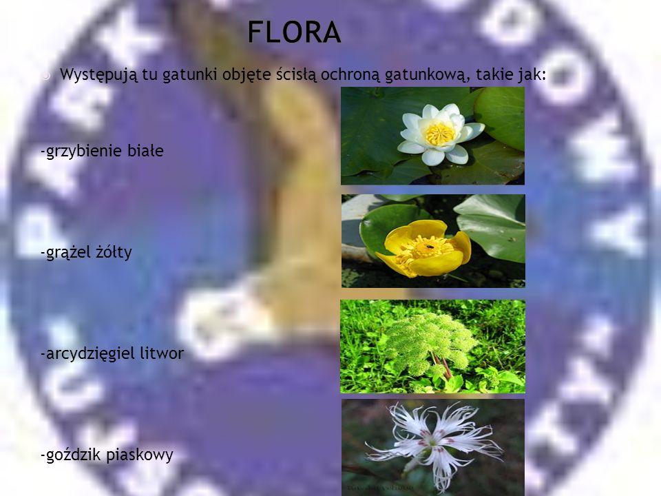 FLORA Występują tu gatunki objęte ścisłą ochroną gatunkową, takie jak:
