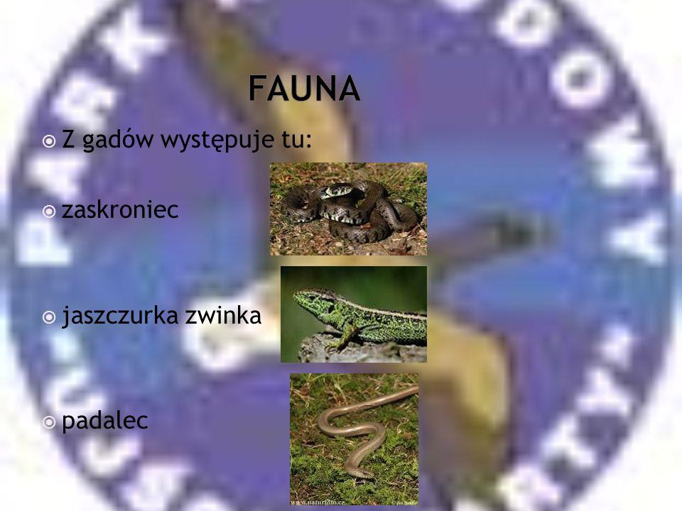FAUNA Z gadów występuje tu: zaskroniec jaszczurka zwinka padalec