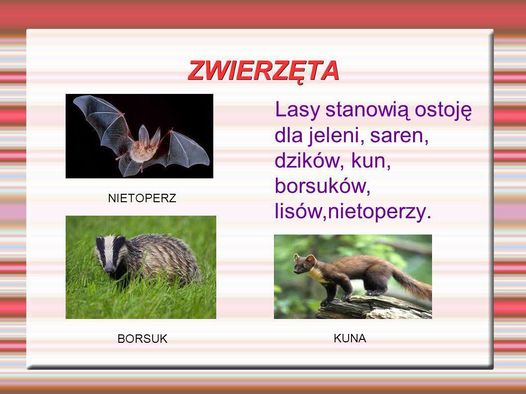 ZWIERZĘTA Lasy stanowią ostoję dla jeleni, saren, dzików, kun, borsuków, lisów,nietoperzy. NIETOPERZ.