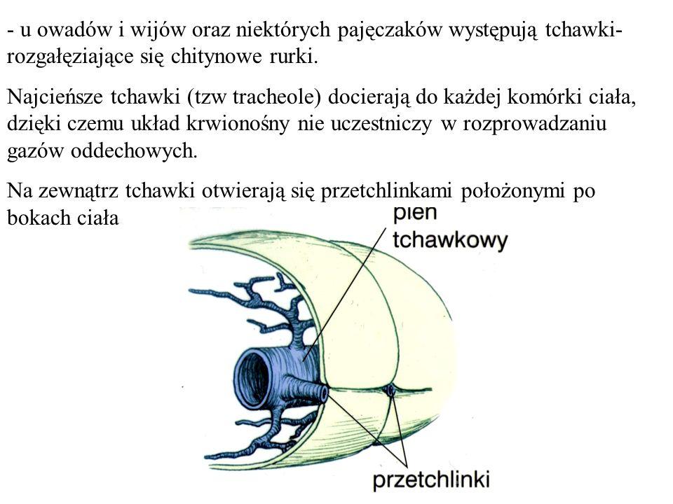 - u owadów i wijów oraz niektórych pajęczaków występują tchawki- rozgałęziające się chitynowe rurki.