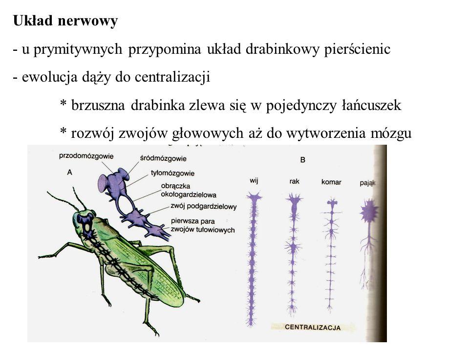 Układ nerwowy - u prymitywnych przypomina układ drabinkowy pierścienic. - ewolucja dąży do centralizacji.