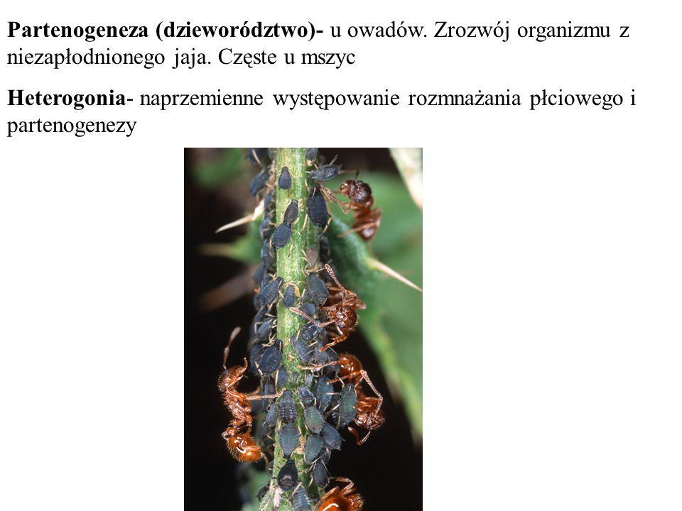 Partenogeneza (dzieworództwo)- u owadów