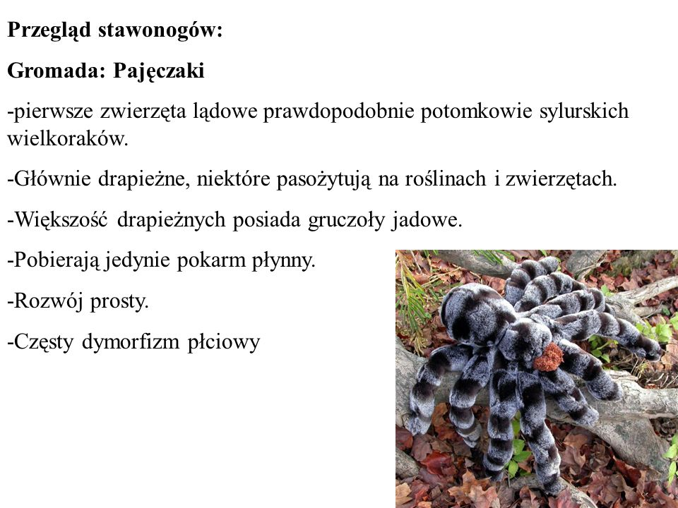 Przegląd stawonogów: Gromada: Pajęczaki. -pierwsze zwierzęta lądowe prawdopodobnie potomkowie sylurskich wielkoraków.