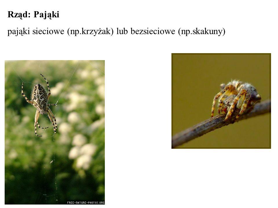 Rząd: Pająki pająki sieciowe (np.krzyżak) lub bezsieciowe (np.skakuny)