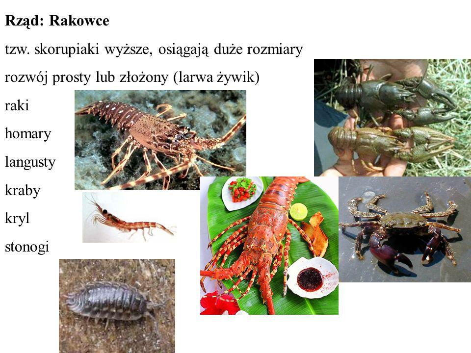 Rząd: Rakowce tzw. skorupiaki wyższe, osiągają duże rozmiary. rozwój prosty lub złożony (larwa żywik)
