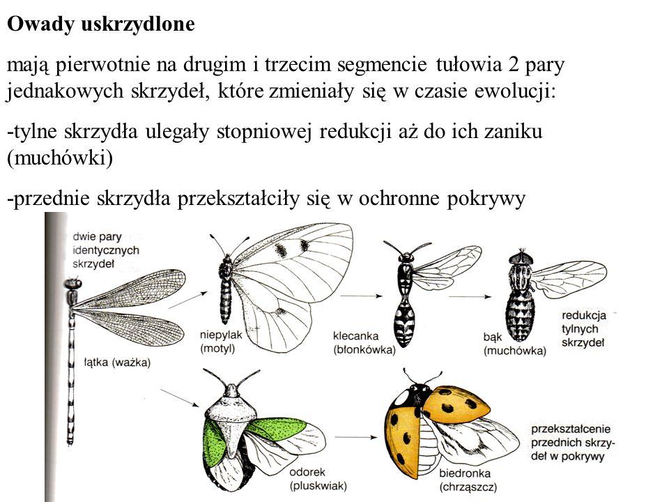 Owady uskrzydlone mają pierwotnie na drugim i trzecim segmencie tułowia 2 pary jednakowych skrzydeł, które zmieniały się w czasie ewolucji: