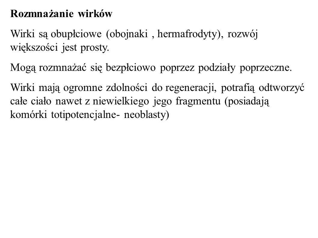Rozmnażanie wirków Wirki są obupłciowe (obojnaki , hermafrodyty), rozwój większości jest prosty.