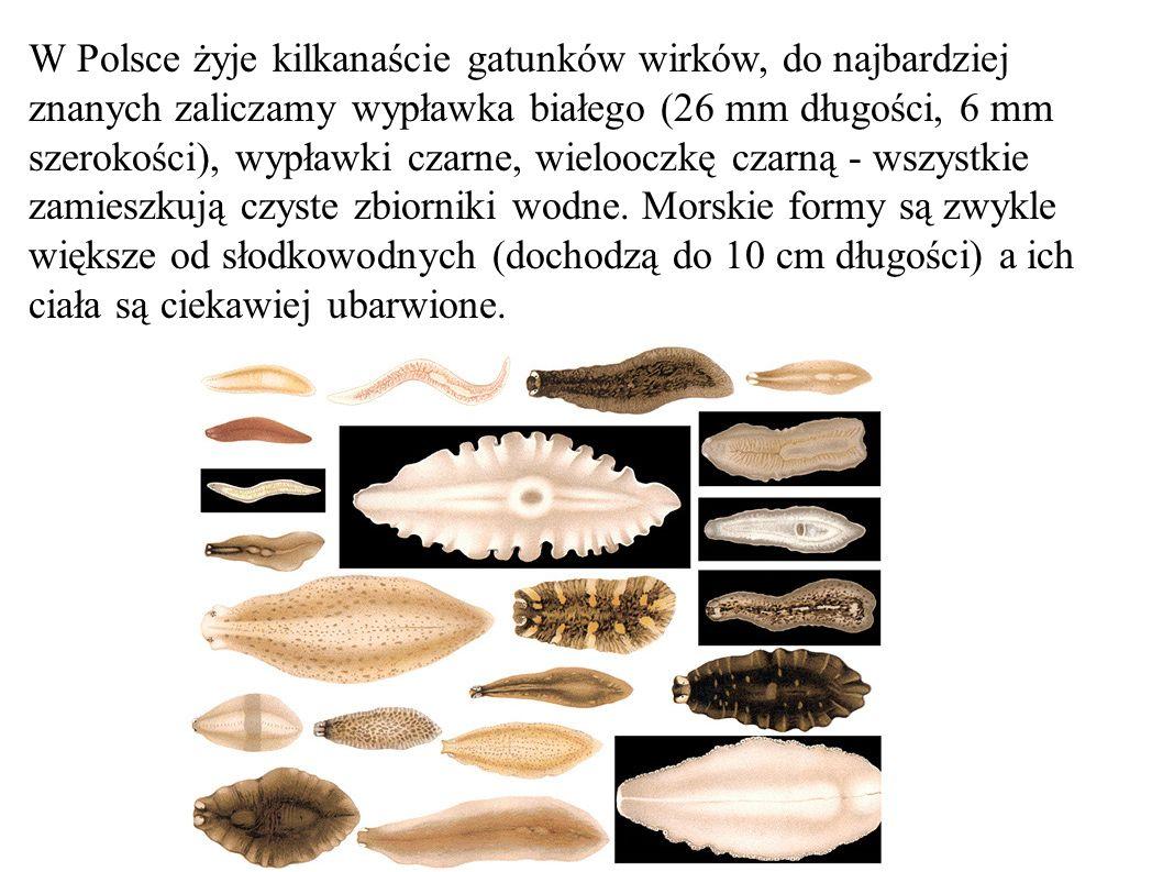 W Polsce żyje kilkanaście gatunków wirków, do najbardziej znanych zaliczamy wypławka białego (26 mm długości, 6 mm szerokości), wypławki czarne, wielooczkę czarną - wszystkie zamieszkują czyste zbiorniki wodne.