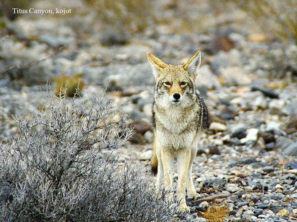 Titus Canyon, kojot