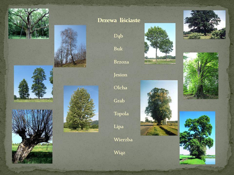 Drzewa liściaste Dąb Buk Brzoza Jesion Olcha Grab Topola Lipa Wierzba