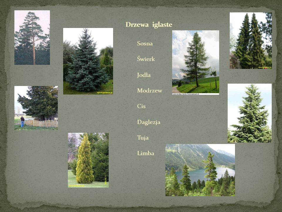 Drzewa iglaste Sosna Świerk Jodła Modrzew Cis Daglezja Tuja Limba