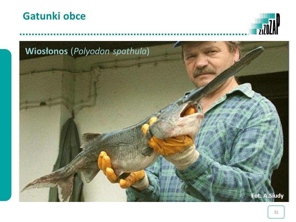 Gatunki obce Wiosłonos (Polyodon spathula) Fot. A.Siudy