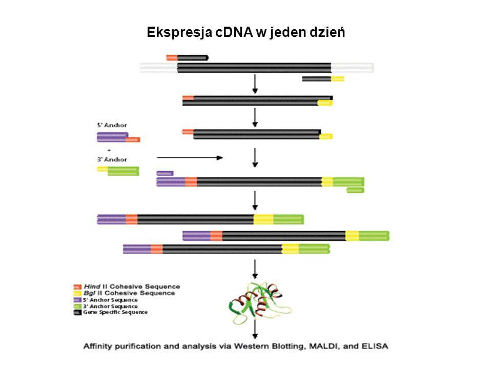 Ekspresja cDNA w jeden dzień