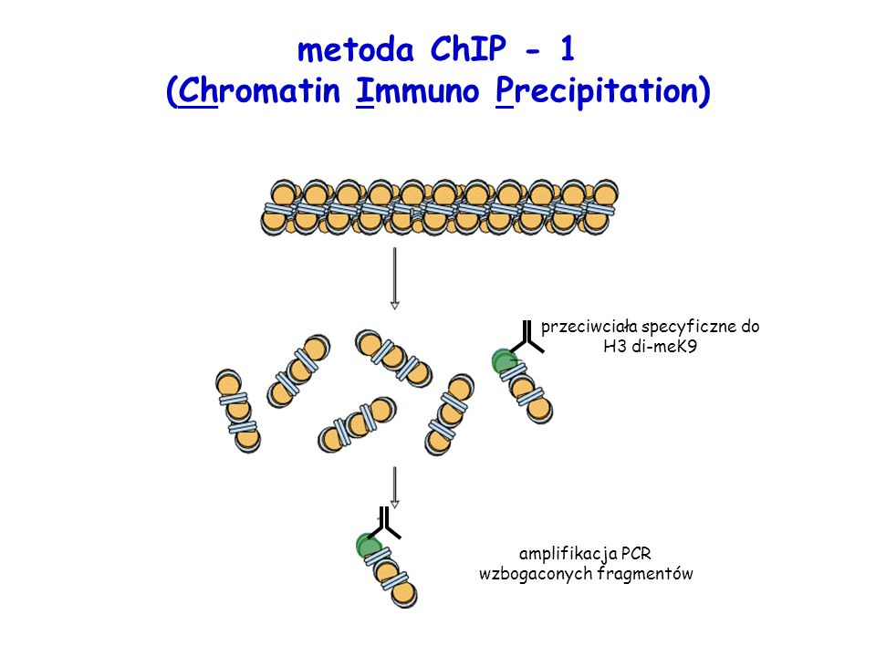 metoda ChIP - 1 (Chromatin Immuno Precipitation)
