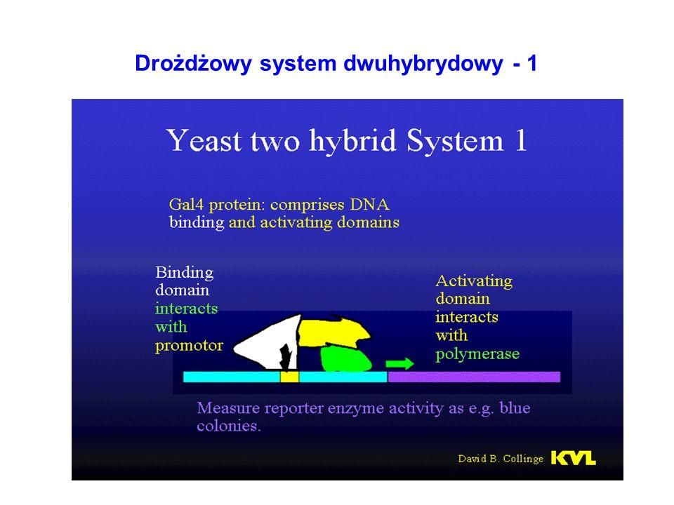 Drożdżowy system dwuhybrydowy - 1