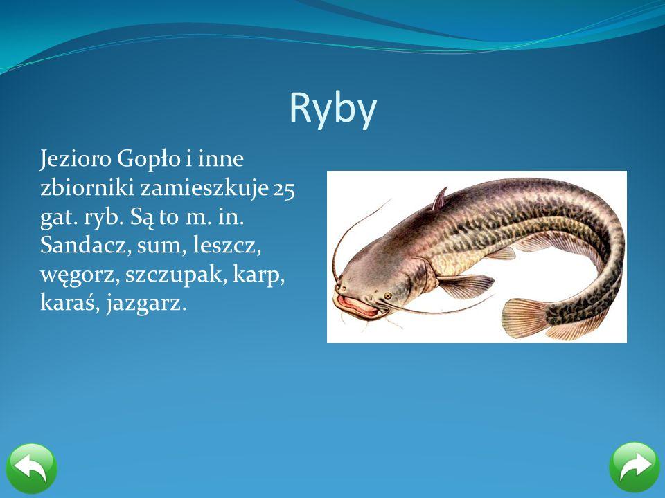 Ryby Jezioro Gopło i inne zbiorniki zamieszkuje 25 gat.