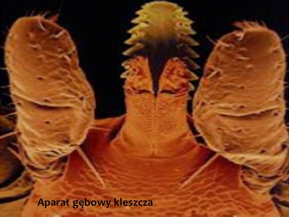 Aparat gębowy kleszcza