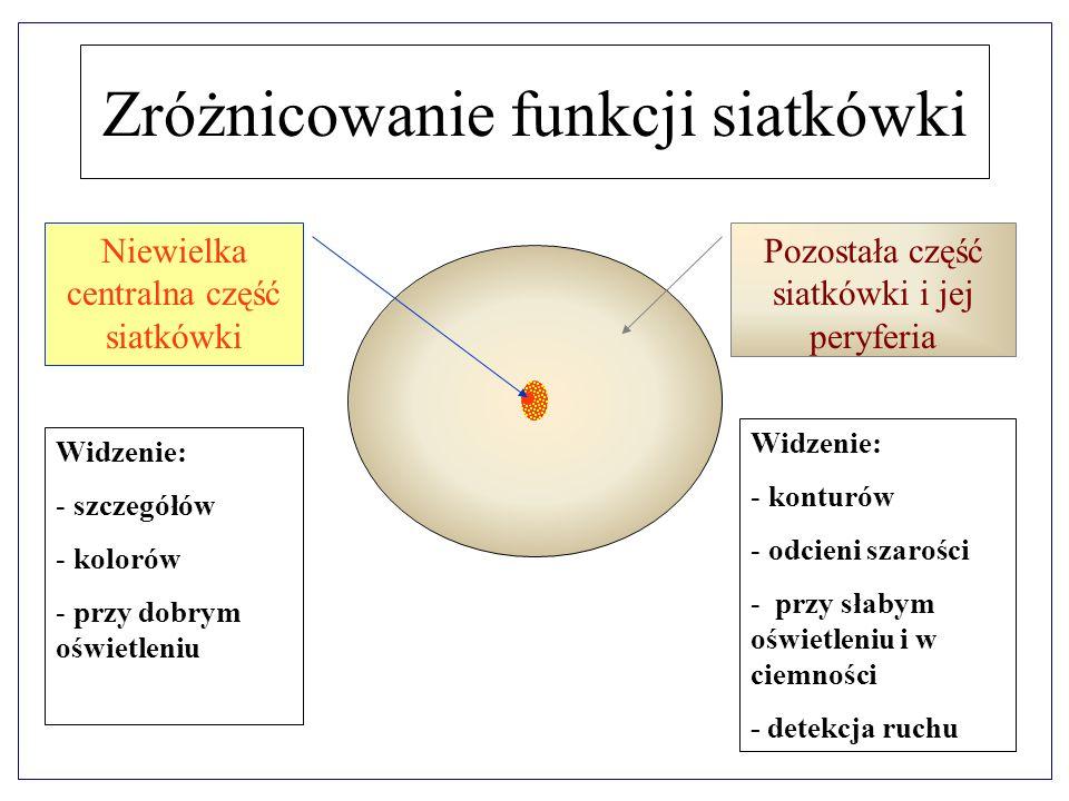 Zróżnicowanie funkcji siatkówki