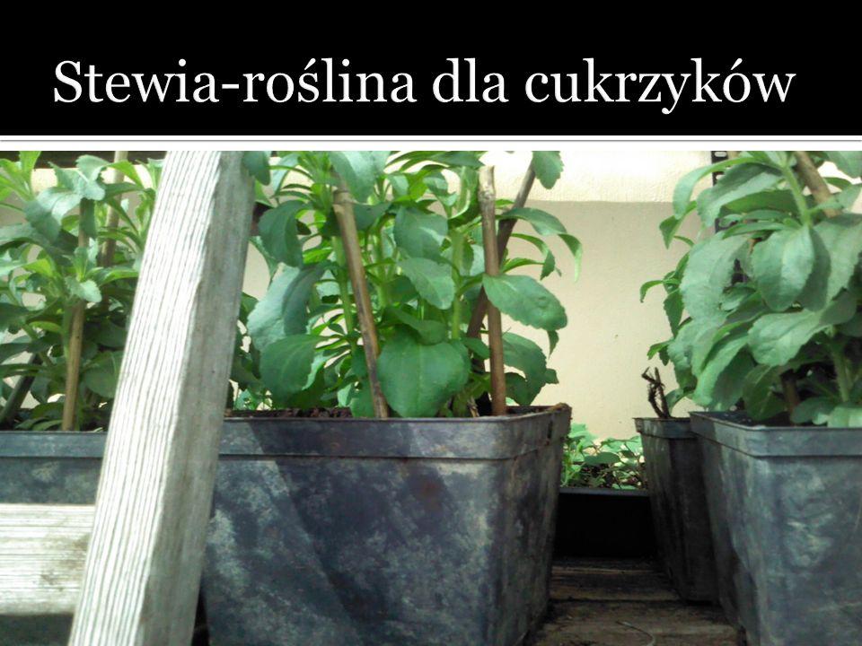 Stewia-roślina dla cukrzyków