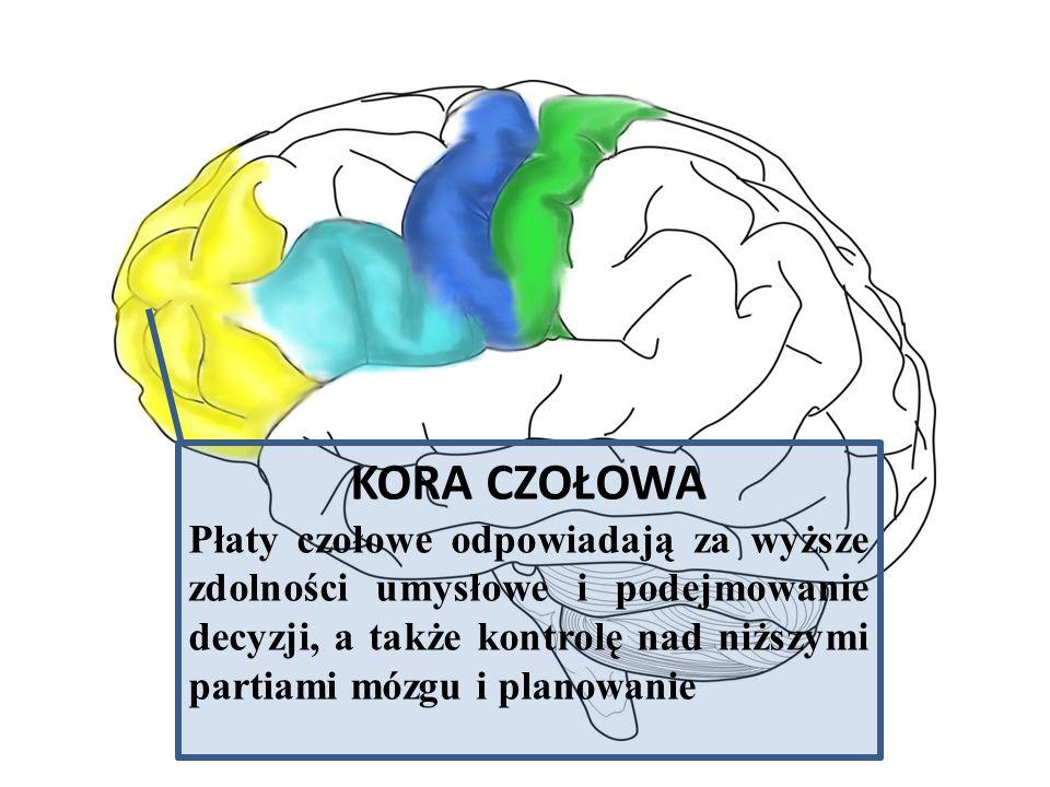 KORA CZOŁOWA Płaty czołowe odpowiadają za wyższe zdolności umysłowe i podejmowanie decyzji, a także kontrolę nad niższymi partiami mózgu i planowanie.