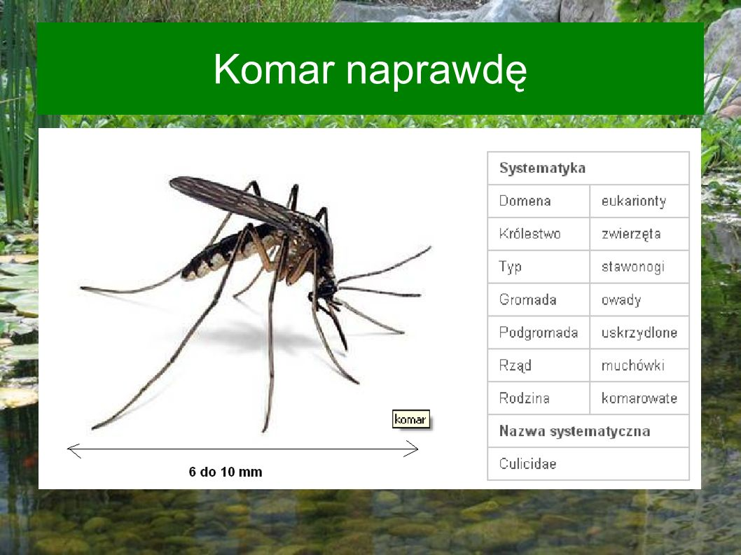 Komar naprawdę