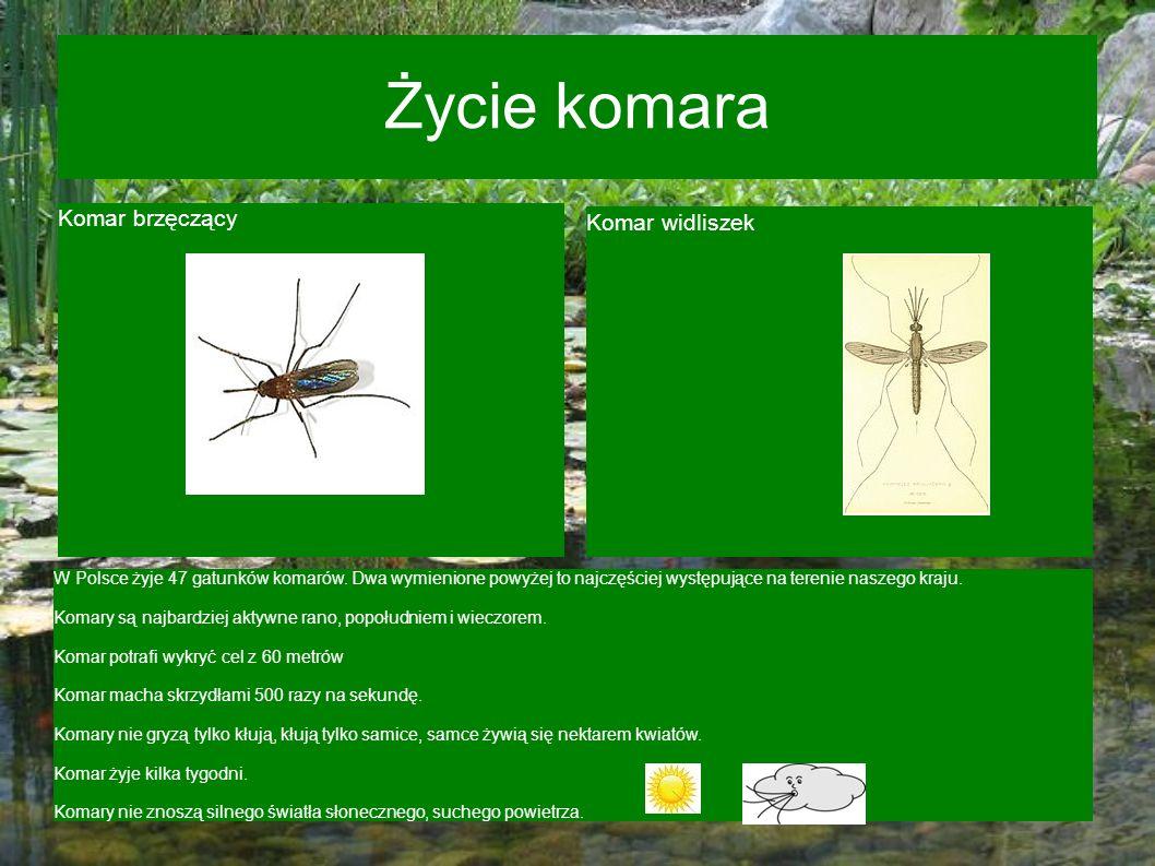 Życie komara Komar brzęczący Komar widliszek