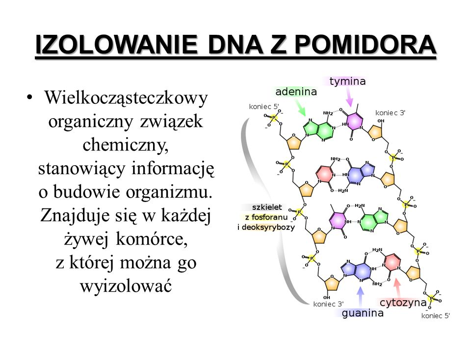 IZOLOWANIE DNA Z POMIDORA