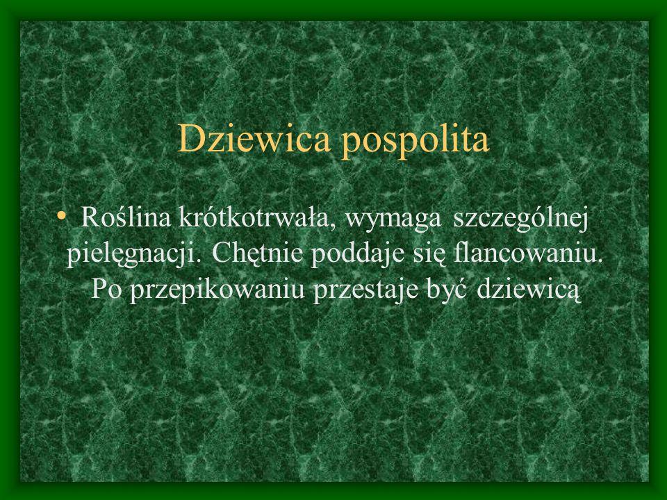Dziewica pospolita Roślina krótkotrwała, wymaga szczególnej pielęgnacji.