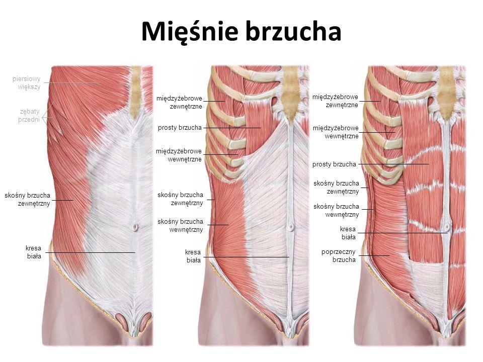 Mięśnie brzucha piersiowy większy międzyżebrowe zewnętrzne