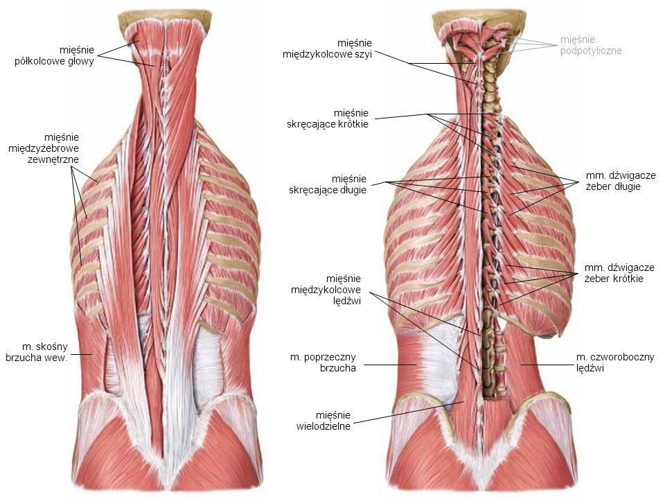 mięśnie międzykolcowe szyi