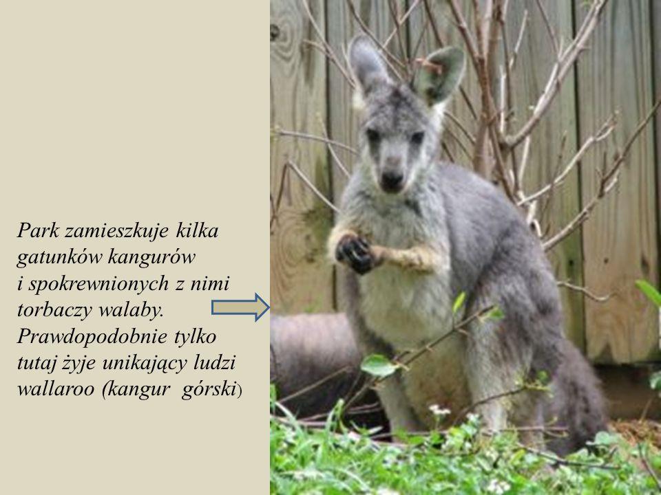 Park zamieszkuje kilka gatunków kangurów