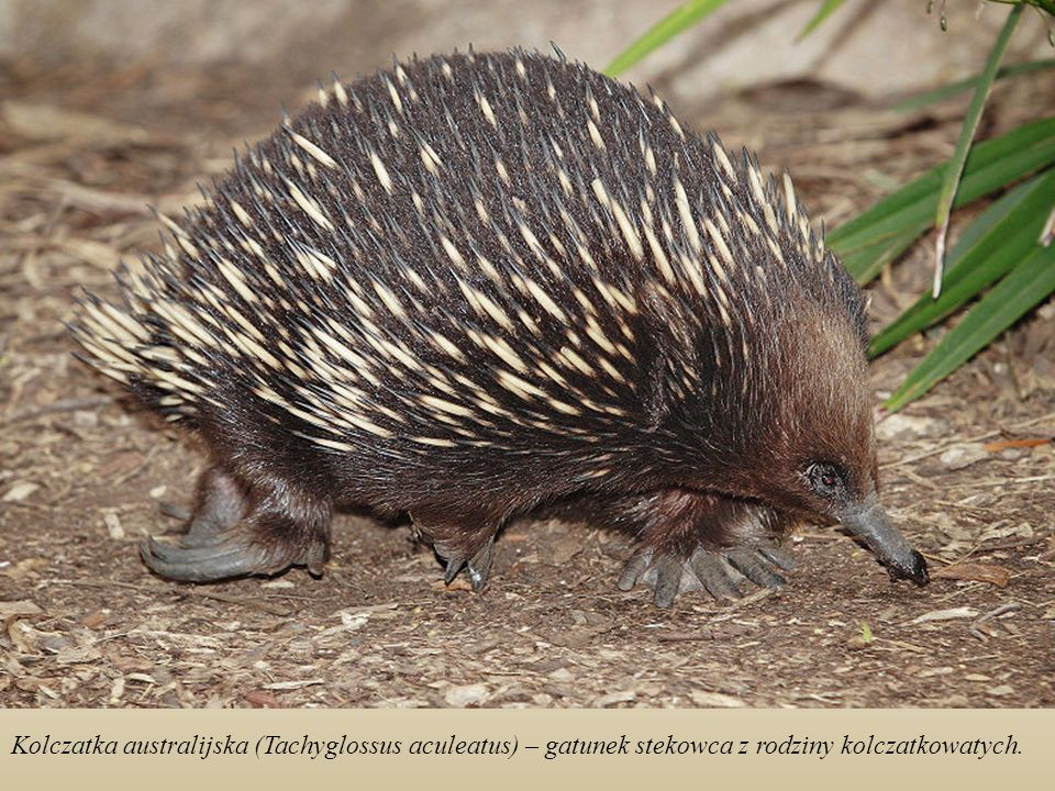 Kolczatka australijska (Tachyglossus aculeatus) – gatunek stekowca z rodziny kolczatkowatych.