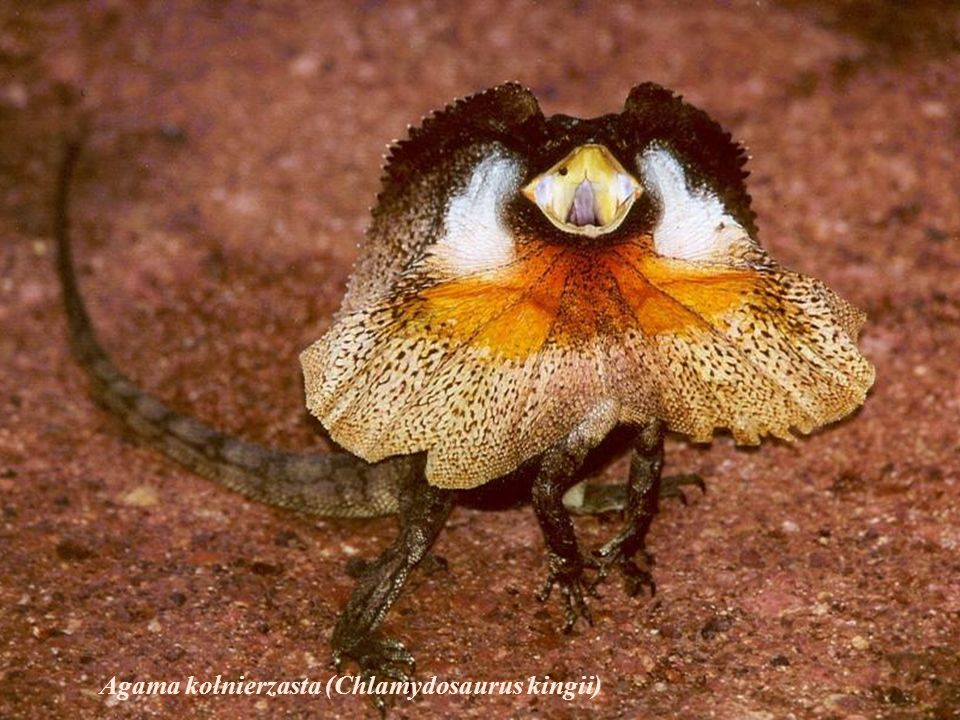 Agama kołnierzasta (Chlamydosaurus kingii)