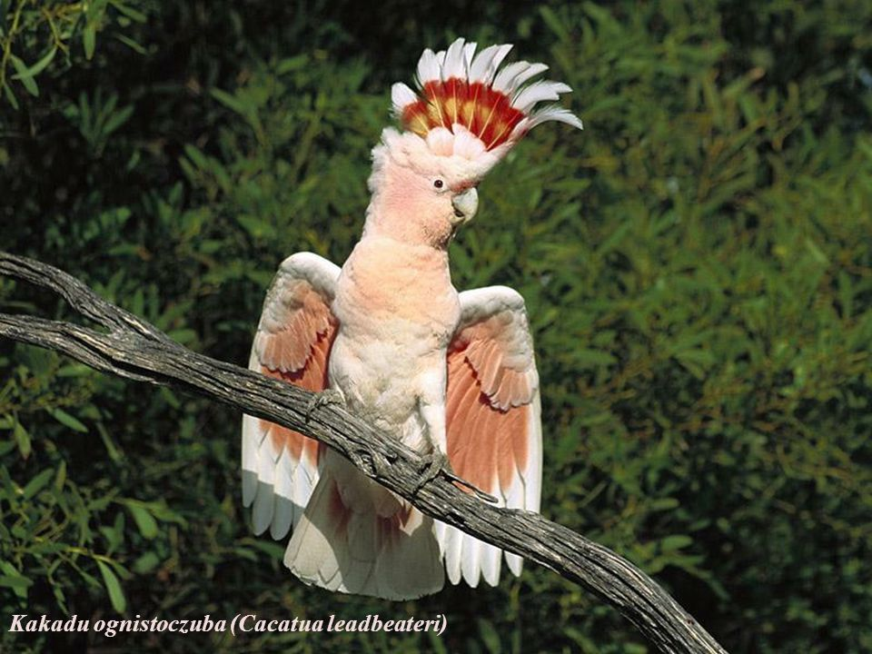 Kakadu ognistoczuba (Cacatua leadbeateri)