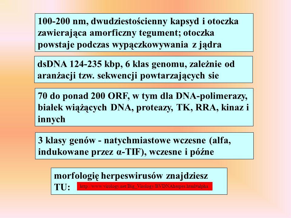 morfologię herpeswirusów znajdziesz TU: