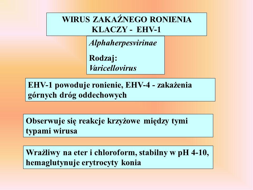 WIRUS ZAKAŹNEGO RONIENIA KLACZY - EHV-1