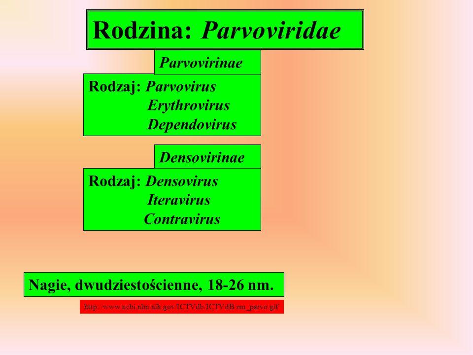 Rodzina: Parvoviridae