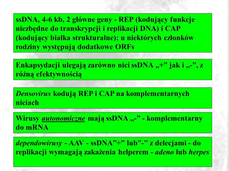 ssDNA, 4-6 kb, 2 główne geny - REP (kodujący funkcje niezbędne do transkrypcji i replikacji DNA) i CAP (kodujący białka strukturalne); u niektórych członków rodziny występują dodatkowe ORFs