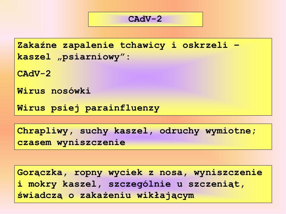 """CAdV-2 Zakaźne zapalenie tchawicy i oskrzeli – kaszel """"psiarniowy : CAdV-2. Wirus nosówki. Wirus psiej parainfluenzy."""