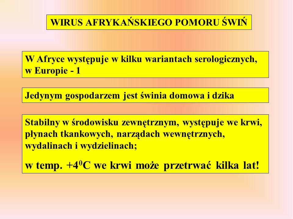 WIRUS AFRYKAŃSKIEGO POMORU ŚWIŃ