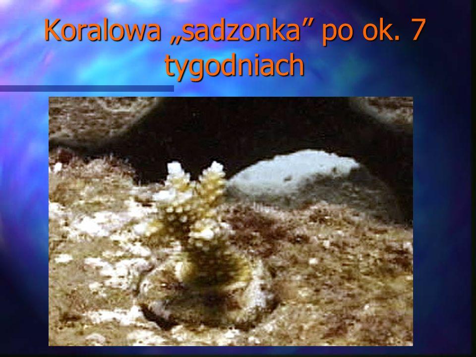 """Koralowa """"sadzonka po ok. 7 tygodniach"""