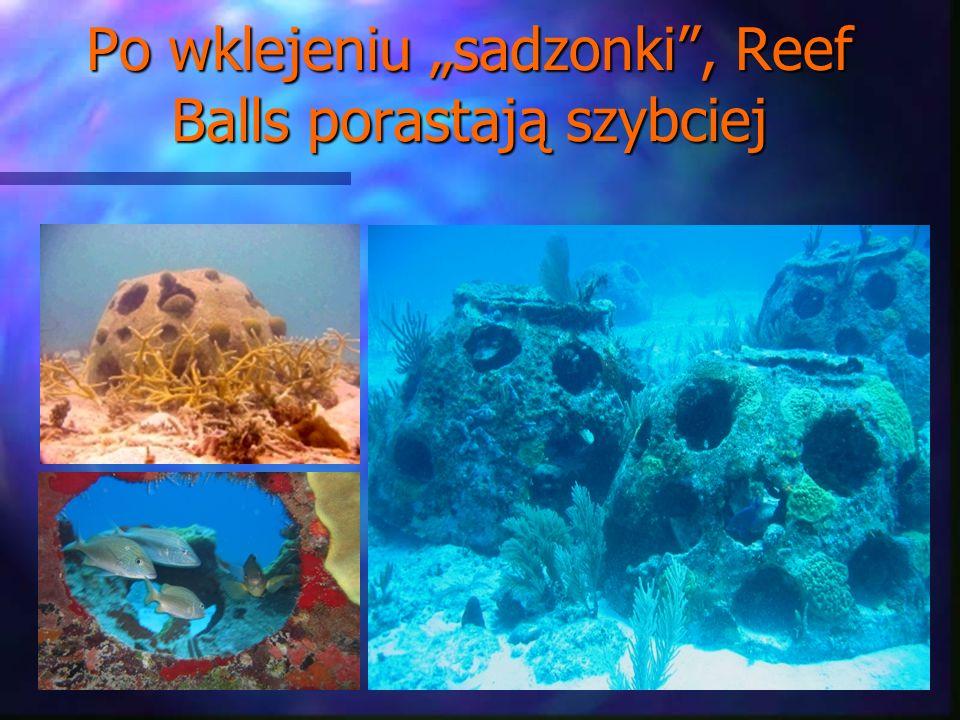"""Po wklejeniu """"sadzonki , Reef Balls porastają szybciej"""