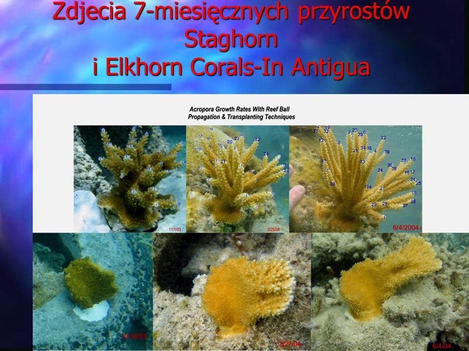 Zdjecia 7-miesięcznych przyrostów Staghorn i Elkhorn Corals-In Antigua