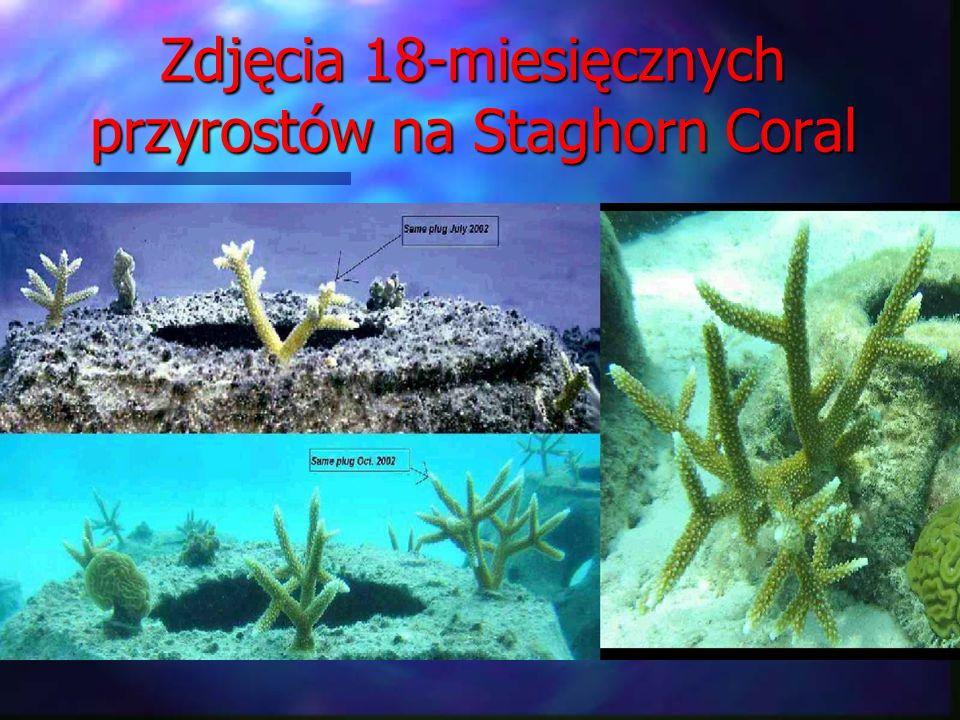 Zdjęcia 18-miesięcznych przyrostów na Staghorn Coral