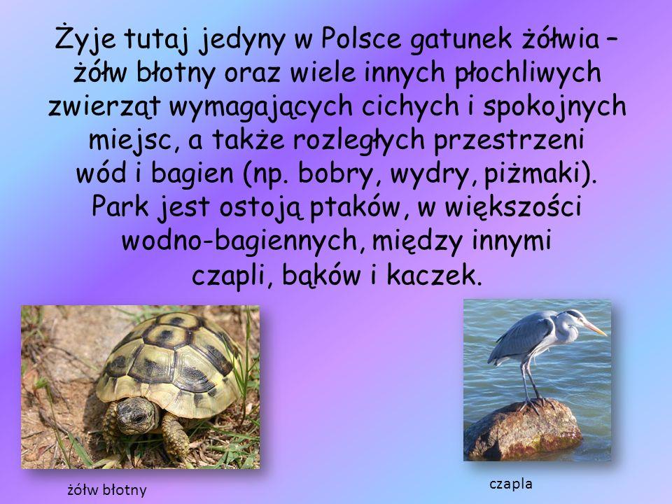 Żyje tutaj jedyny w Polsce gatunek żółwia – żółw błotny oraz wiele innych płochliwych zwierząt wymagających cichych i spokojnych miejsc, a także rozległych przestrzeni wód i bagien (np. bobry, wydry, piżmaki). Park jest ostoją ptaków, w większości wodno-bagiennych, między innymi czapli, bąków i kaczek.