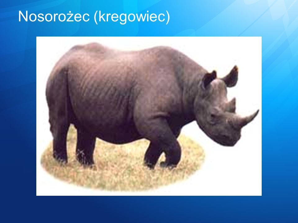 Nosorożec (kregowiec)